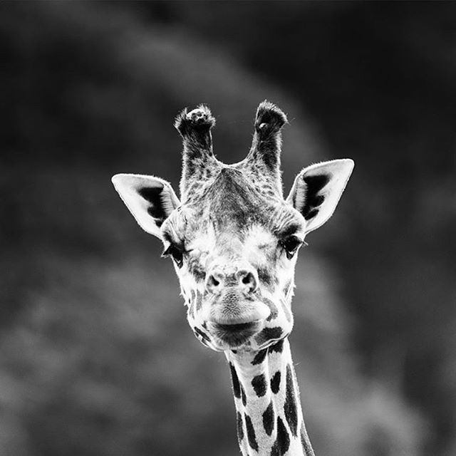 Rothschild's Giraffe by @lesleymalpasphotography. Suprisingly, very little is known about the behavioural ecology of giraffe in the wild. Their numbers are declining rapidly, over 40% in just 20 years, from anthropogenic pressures such as habitat loss, fragmentation, poaching, and the bush meat trade. There is not much historical data from field studies and conservationists are working hard to fill in the gaps in our knowlege about the wild population.  #giraffe #conservation #habitatprotection #savegiraffes #stoppoaching #photojournalism #conservationphtography #protectwhatyoulove #animalrights #makeourplanetgreenagain #wildlife #wildlifephotography #blackandwhitephotography #operationfuturehope