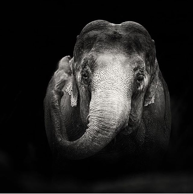 Anne was Britain's last circus elephant, now rescued and living out her days in a purpose built elephant sanctuary at #Longleat. The door is open to find her a suitable companion, let's hope this happens for her. Photo by @lesleymalpasphotography  #elephants #conservation #saveelephants #conservationphotography #humanwildlifeconflict #makeourplanetgreenagain #wildlife #blackandwhitephotography #photojournalism #protectwildlife #elephant #elephantconservation #operationfuturehope
