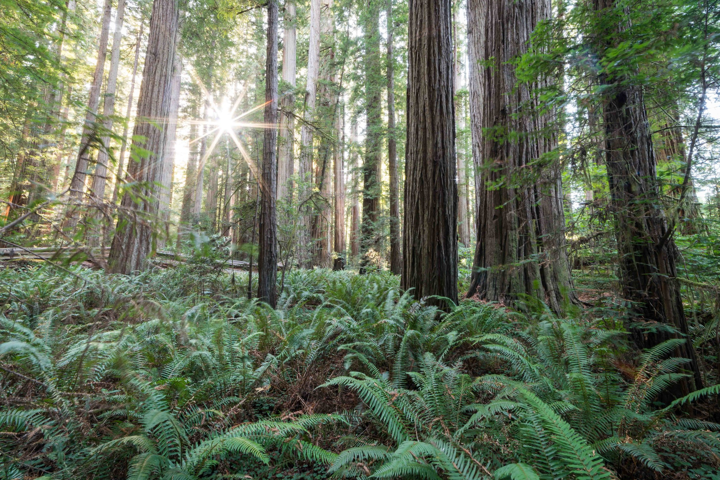 Stout Grove  Redwoods National Park, California
