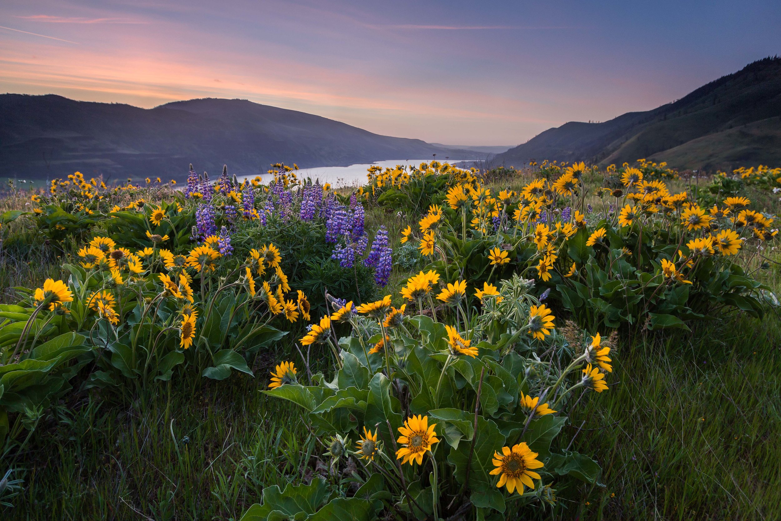 Sunflower Sunrise  Columbia River Gorge, Oregon