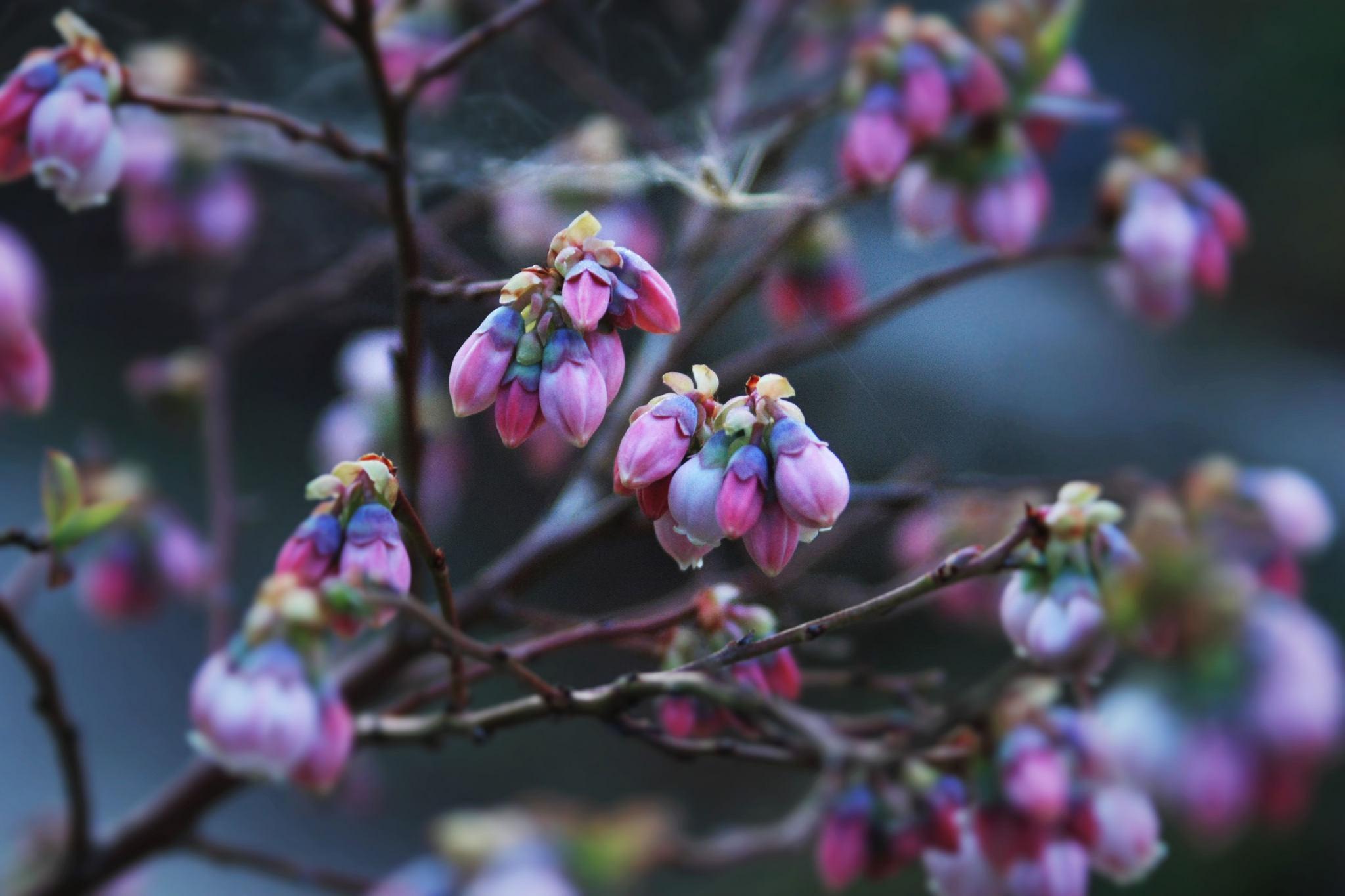 Highbush Blueberry by Kai