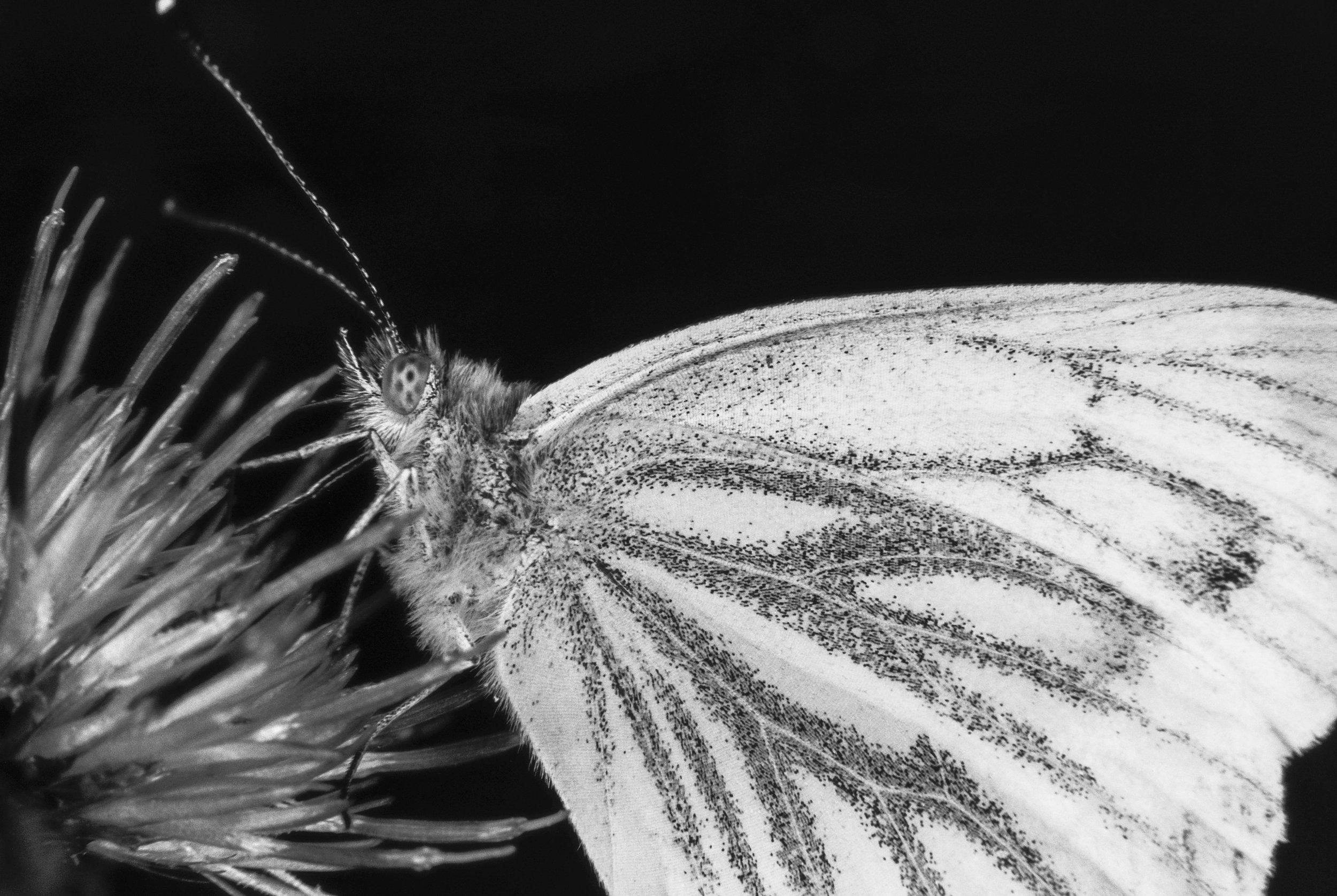 DuncanGammon-butterfly-macro.jpg