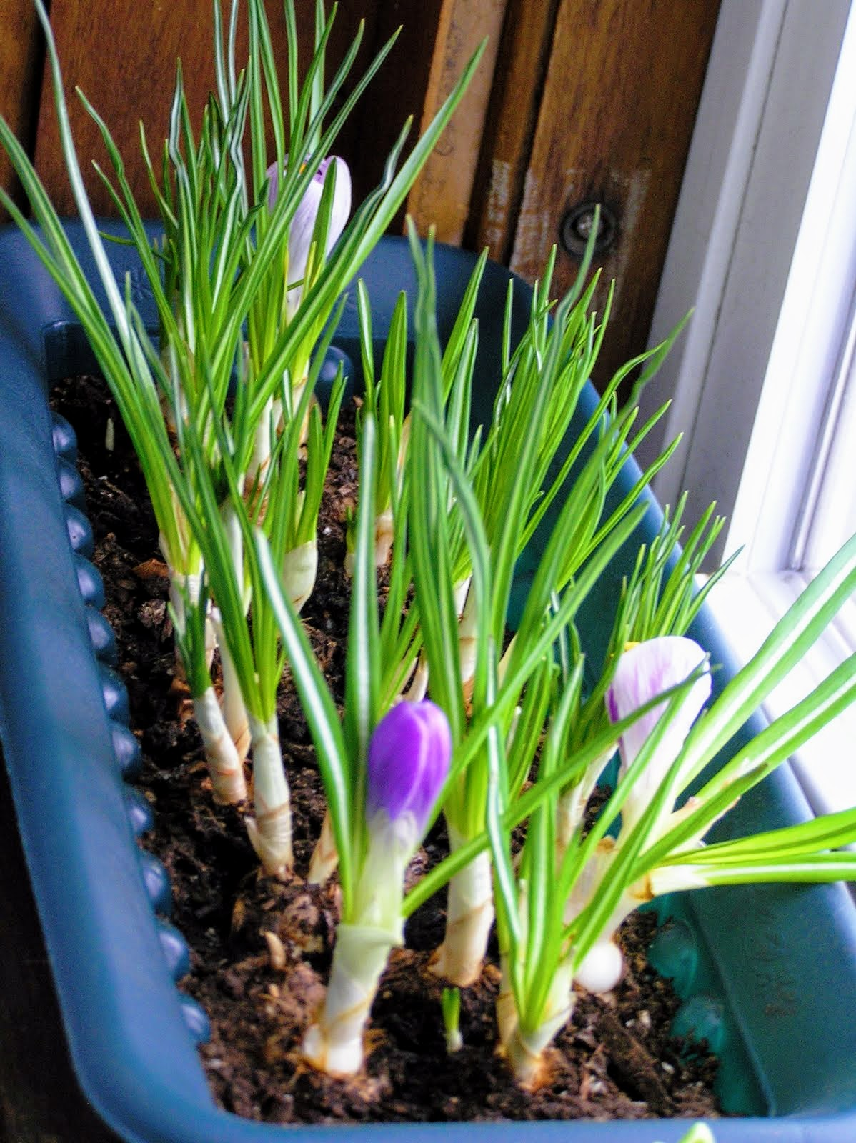 Lazy Gardener's Guide to Forcing Bulbs Indoors