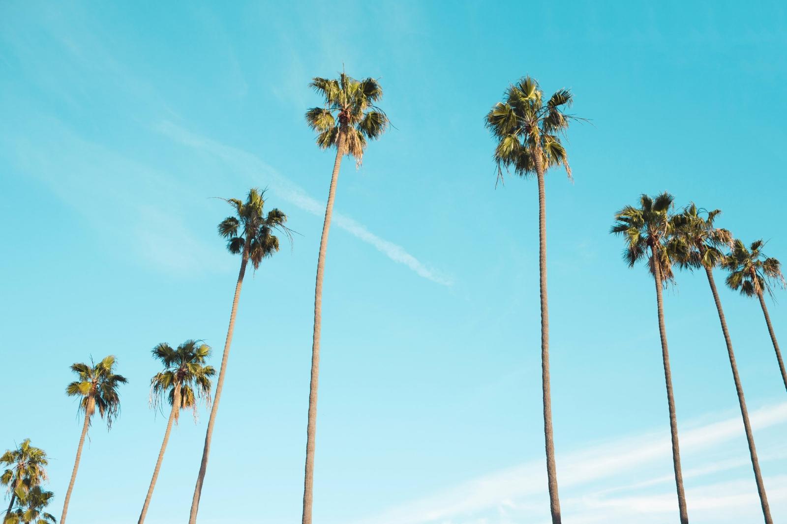 The Media Palm Homepage - Los Angeles Palm Trees