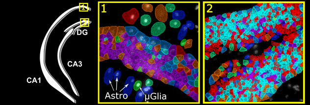Spatial organization of cells in the hippocampus.