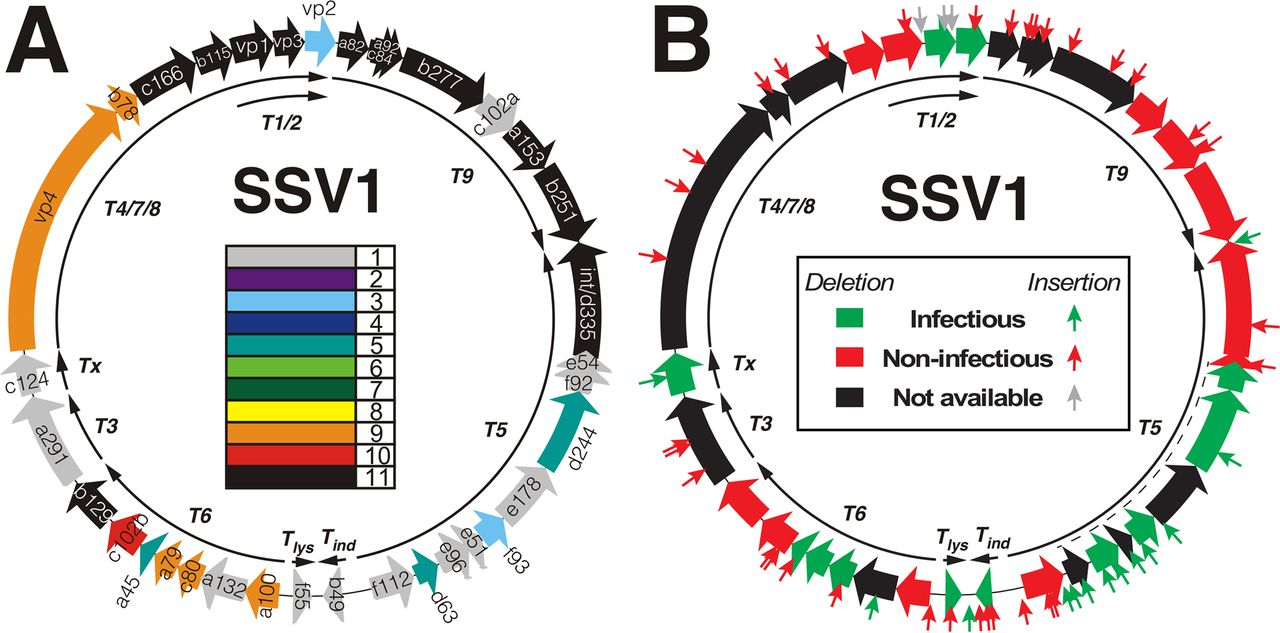 The SSV1 genome showing A) conservation across 11  Fuselloviridae , and B) the infectivity of host  Saccharolobus solfataricus  by different SSV1 mutants. From Iverson et al., 2017