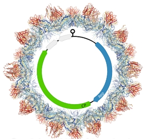 Hypothetical structure of a crucivirus