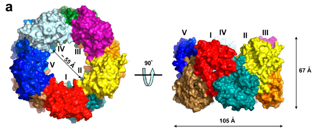 A toroidal multimeric Cas4 protein from  Sulfolobus solfataricus , determined by      Yakunin et al. in 2013     . A monomer of this protein has a similar structure to an uncharacterized ORF in SSV10 that we are investigating.
