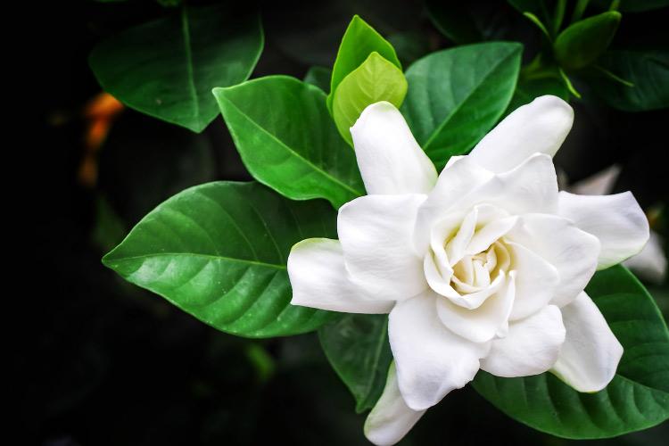 gardenia-2.jpg