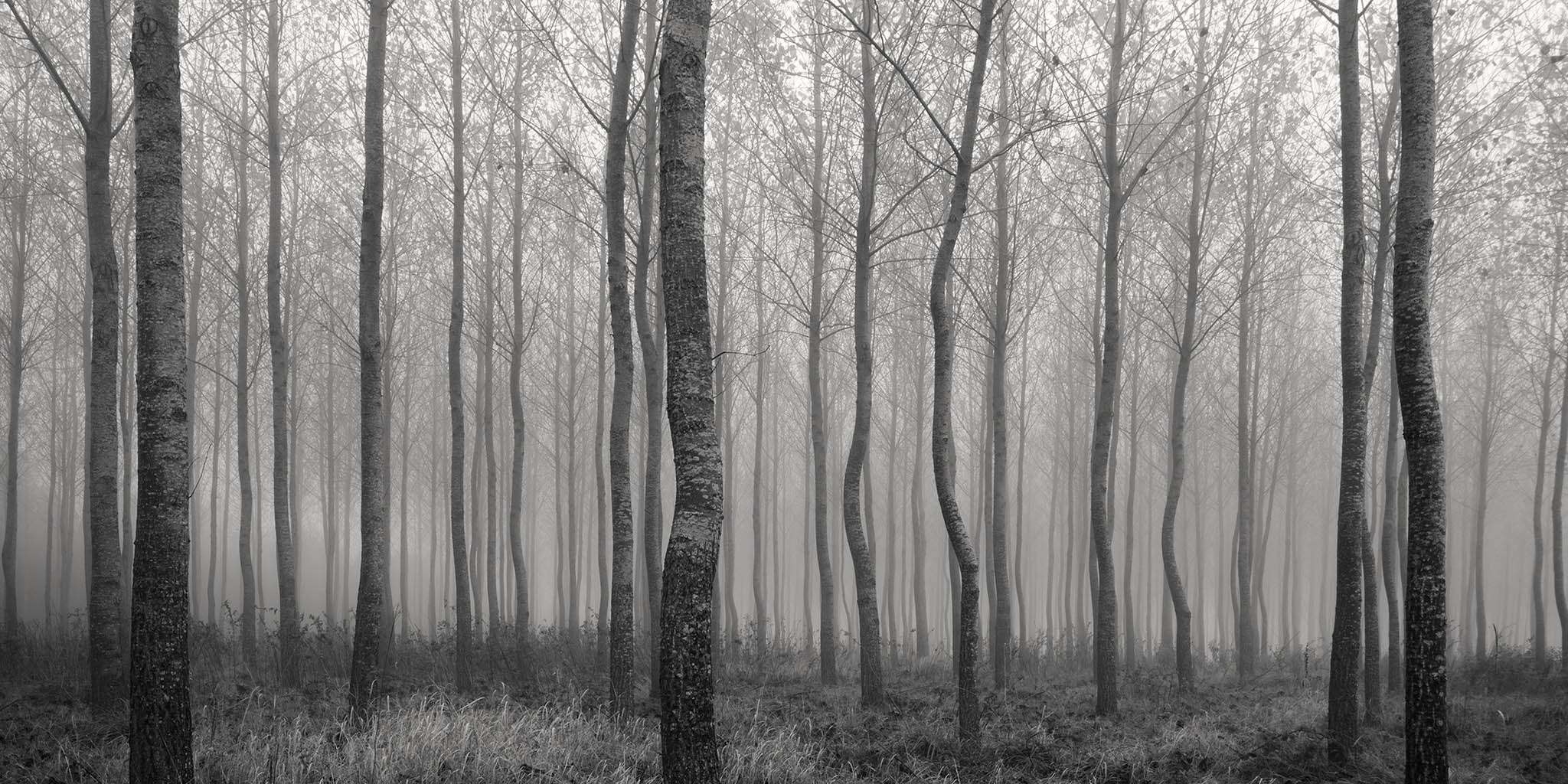 A small plantation of young tree receding into the autumnal mist in Southwater, UK.