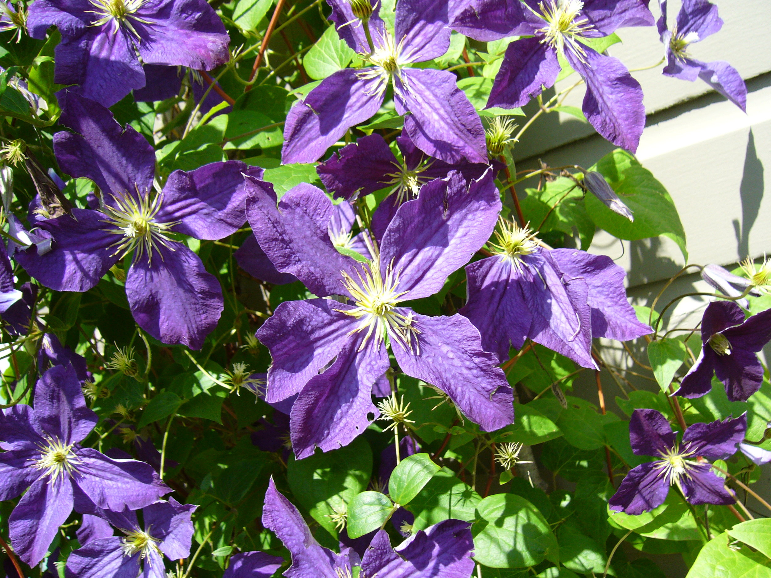 Clematis crawling all over the garage