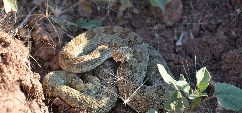 rattlesnake-1627200_1280-1170x550.jpg