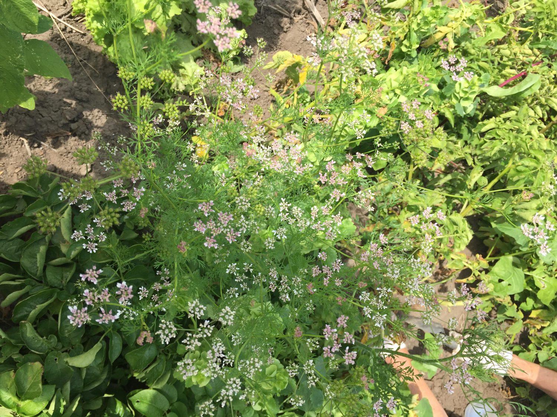Here's a photo of my Mum's coriander