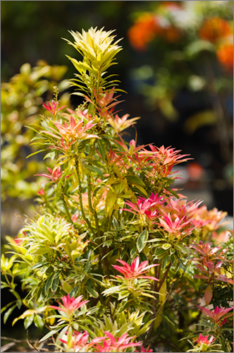 parkside_nusery_pieris_4410.jpg