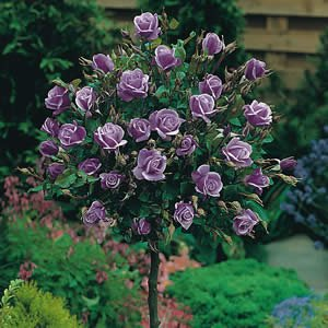 Standard Roses  - Standards are simply Bush Roses grafted onto a 1m long standard.  They are ideal for placing at the back of a border, as a stand-alone specimen, or along a driveway, patio to define an edge.  They also work extremely well in Containers where they can offer an overall height of 4 to 6ft.  We supply them bare root only online but they are available all year round from the nursery.