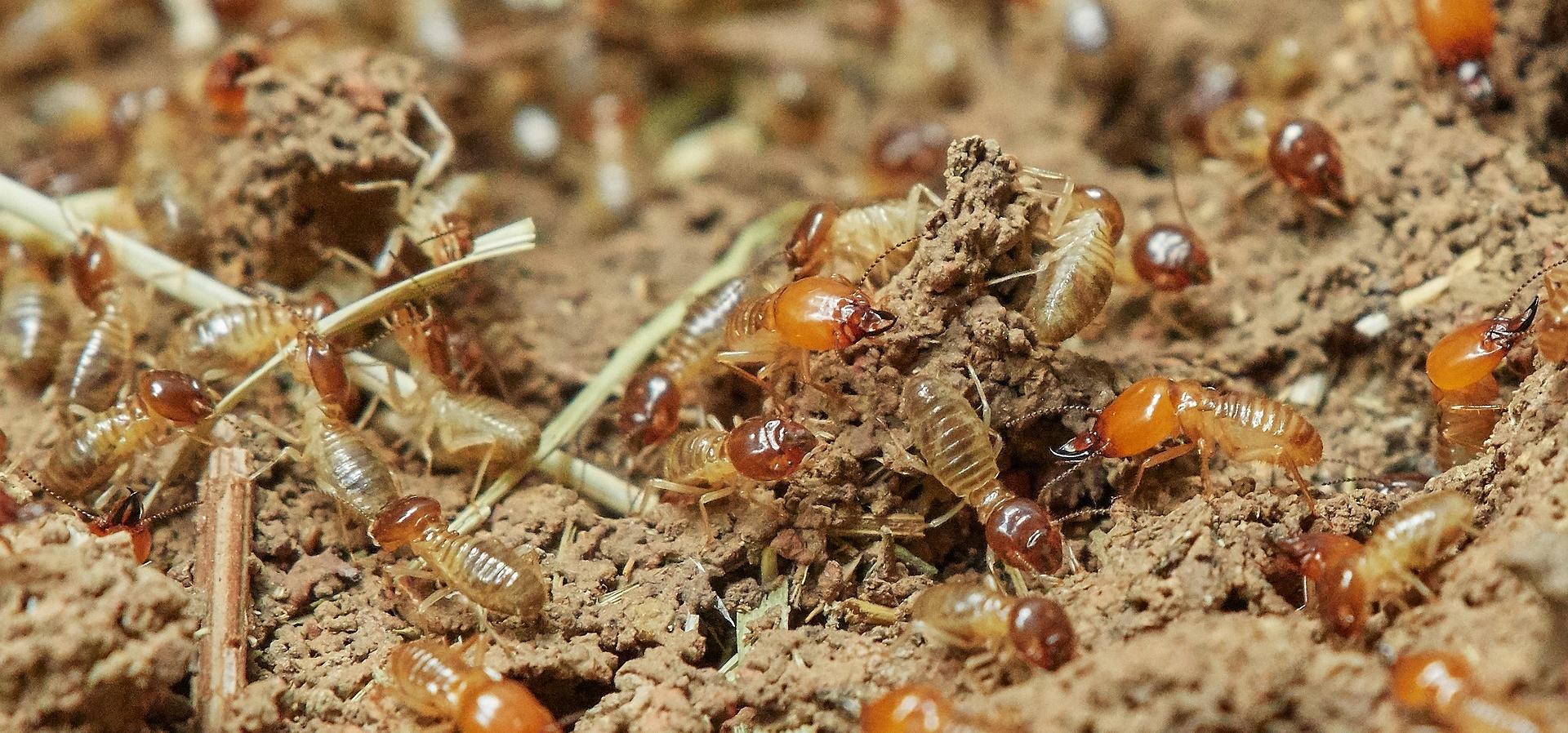 Bug Assassin Pest Management, Termite Treatment, Termite inspection, Vero beach termite company, Vero Beach Pest Control, Sebastian Pest Control, Exterminators, Vero Beach Exterminator, Sebastian Exterminator, Best pest control companies in Indian River County, subterranean termites