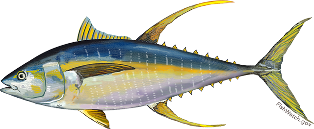 Atlantic Yellowfin Tuna