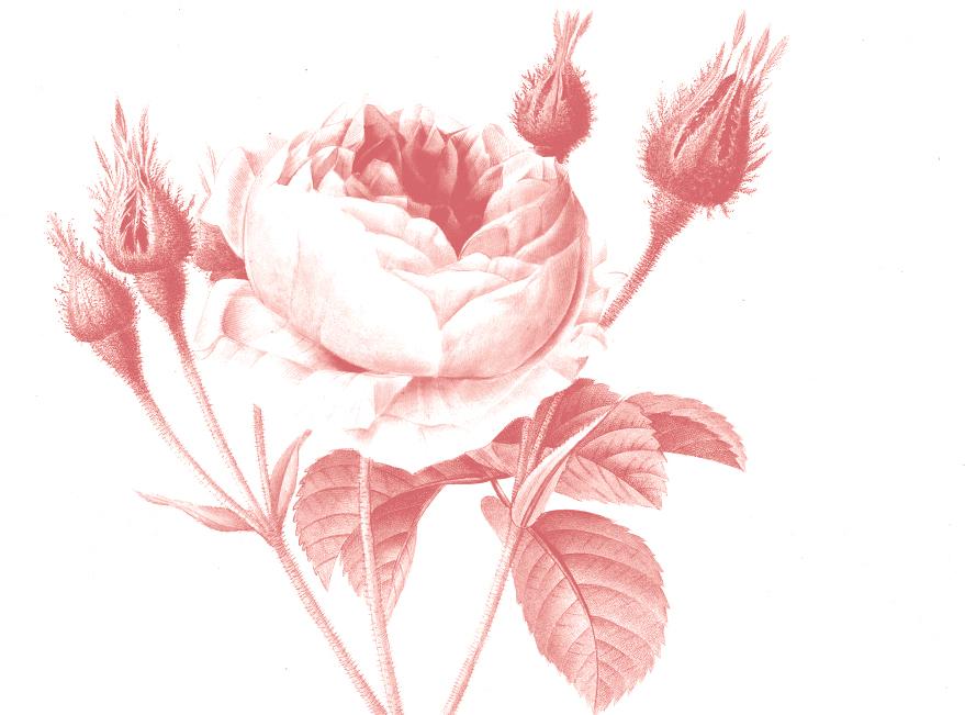 rose_new.jpg