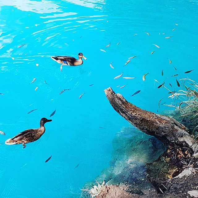 The clearest water I've seen in my life!!! #coral #croatia #travel #traveling #photo #photography #pic #picoftheday #interrail #holiday #sun #landscape #skyview #sea #blue  #animals #duck #sea #plitvice #fish