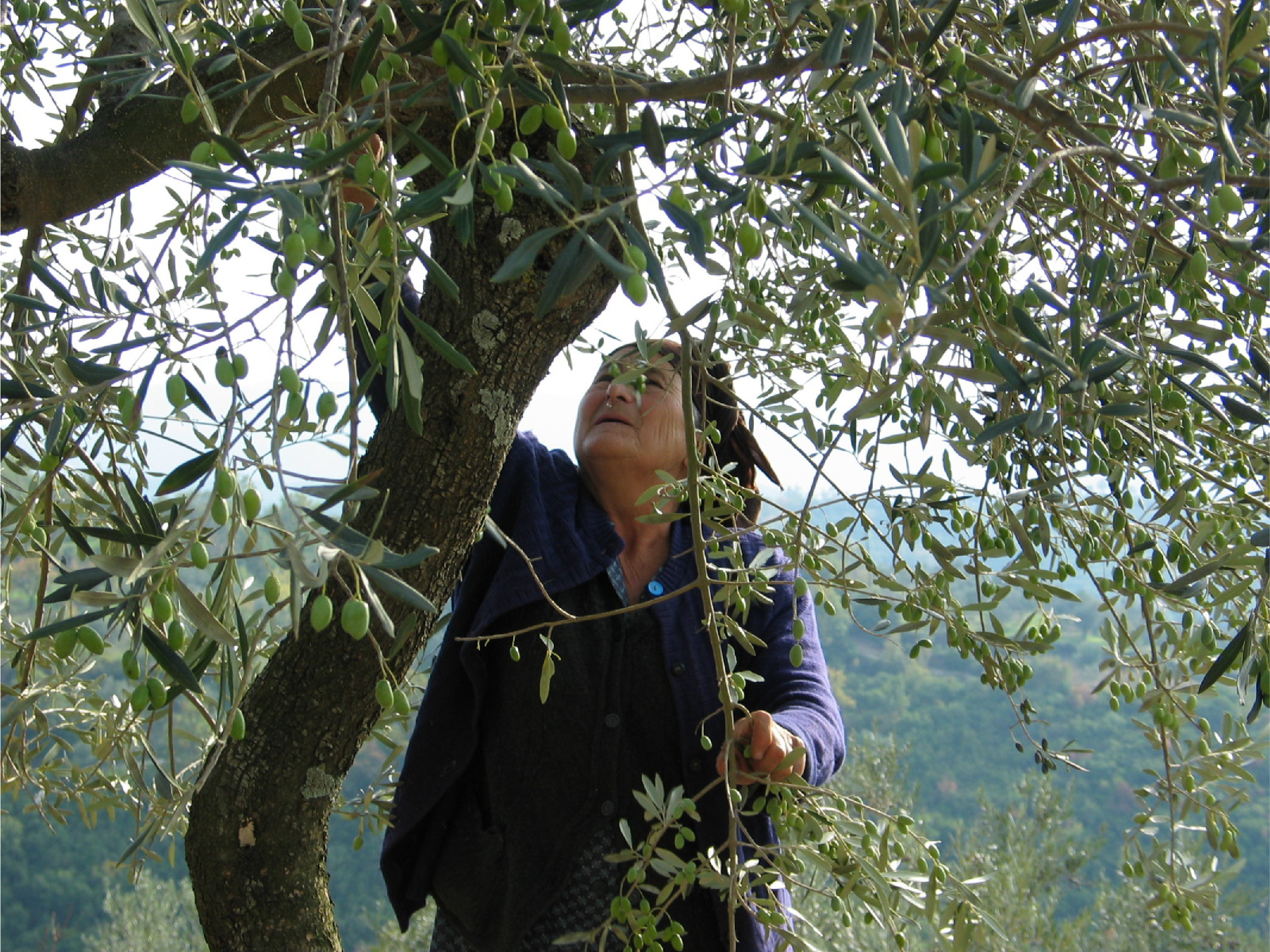 olive picking close.jpg