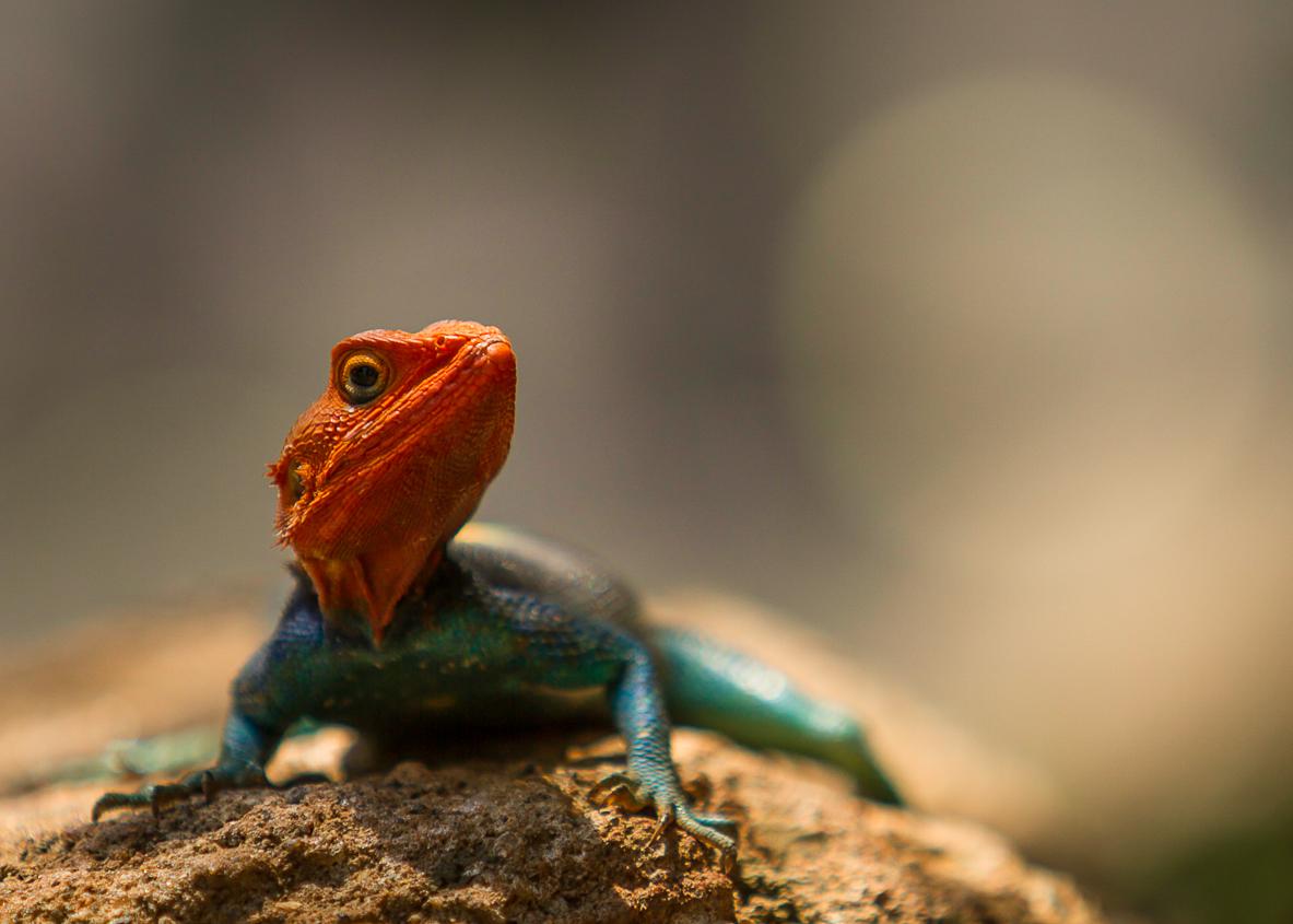 Agama Lizard in a pose-1.jpg