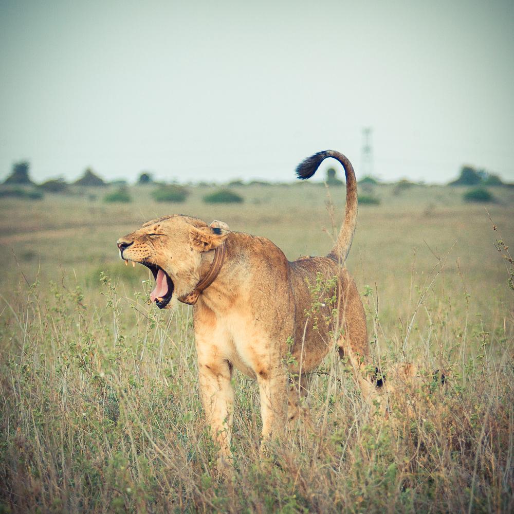 Collar a lion-1.jpg