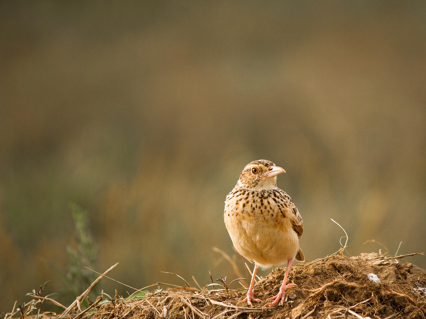 Rufous Naped lark-1-4.jpg