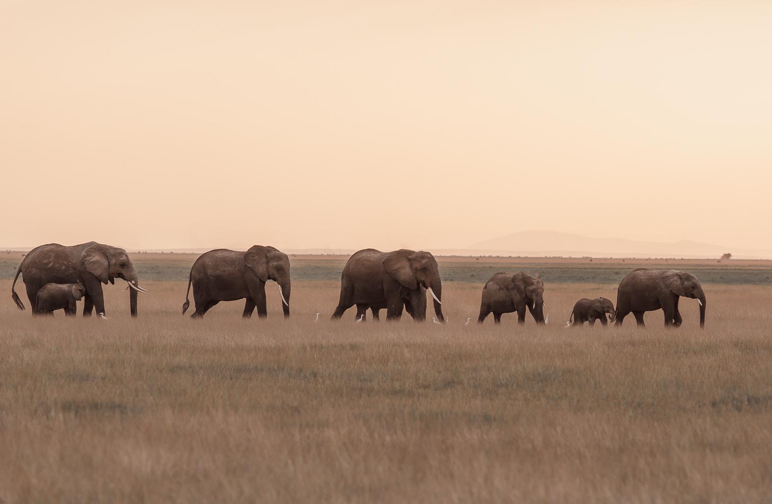 Elephants walk the Amboseli-1-2.jpg