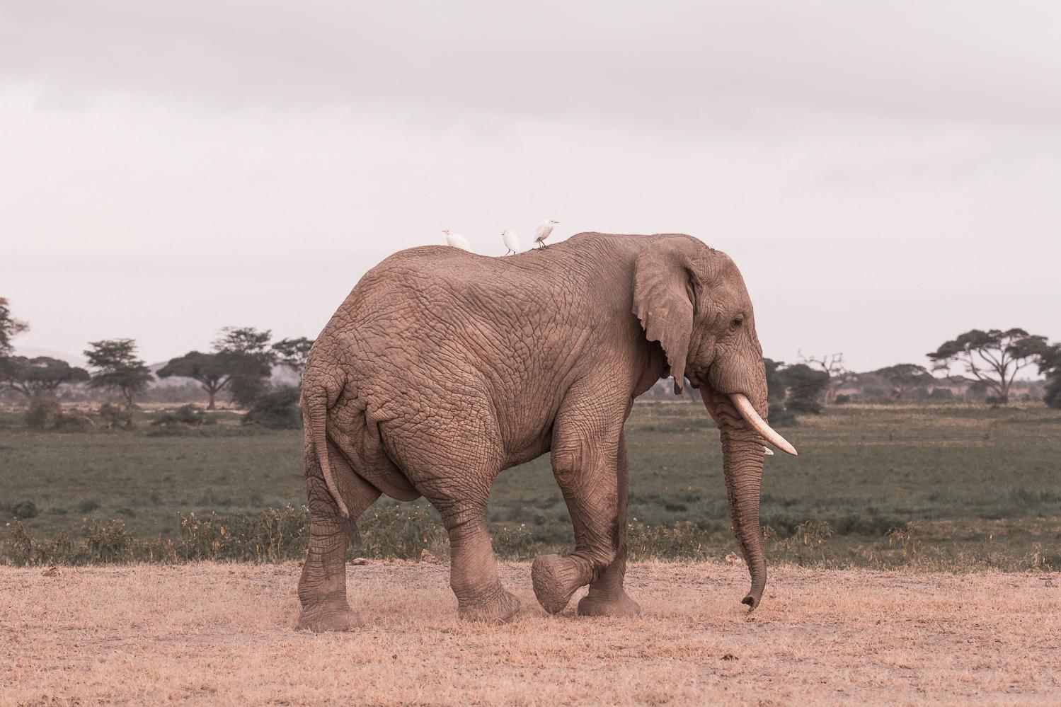Elephant in the Amboseli-1-2.jpg