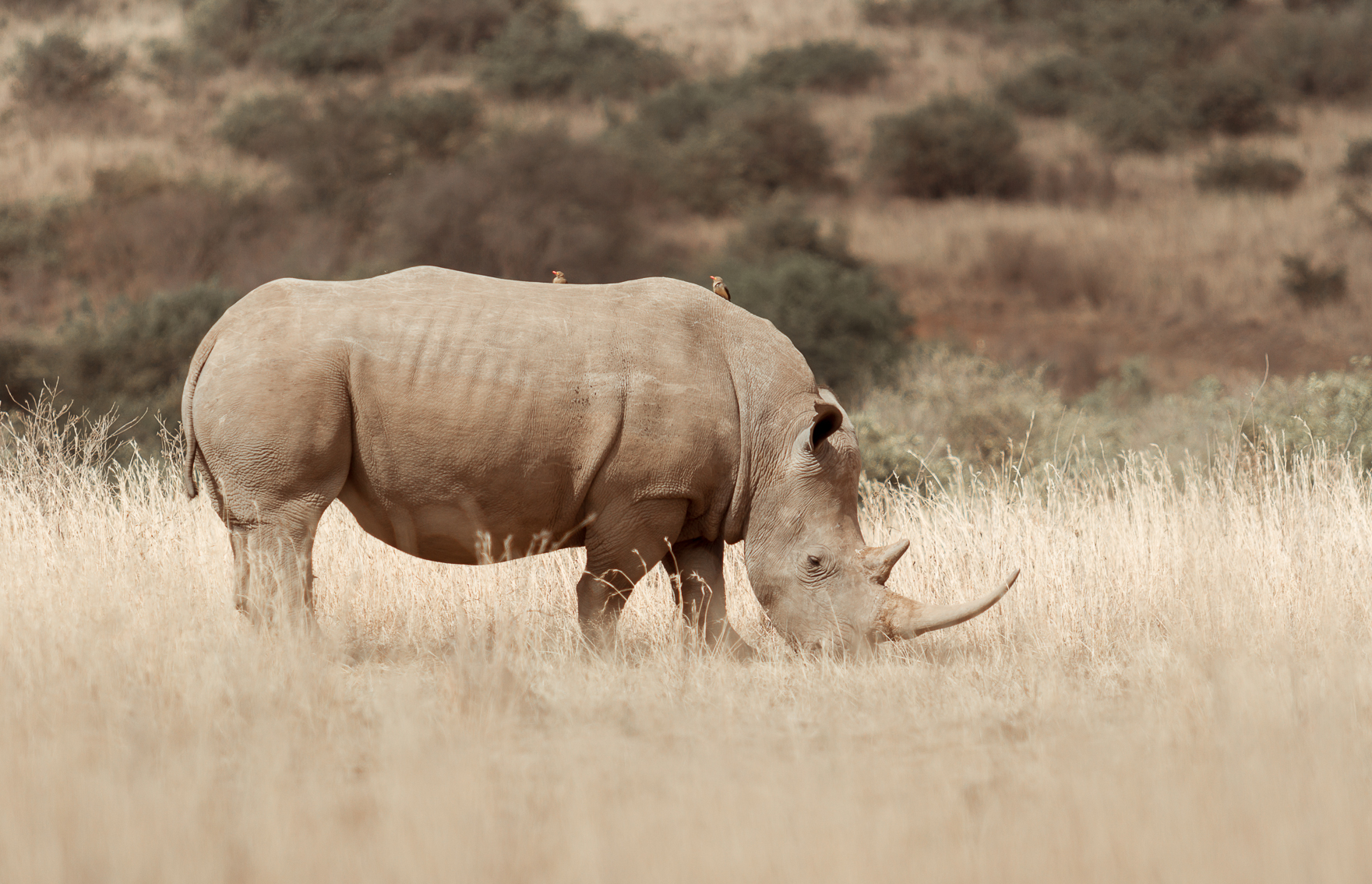 A rhino grazing in the Nairobi National Park