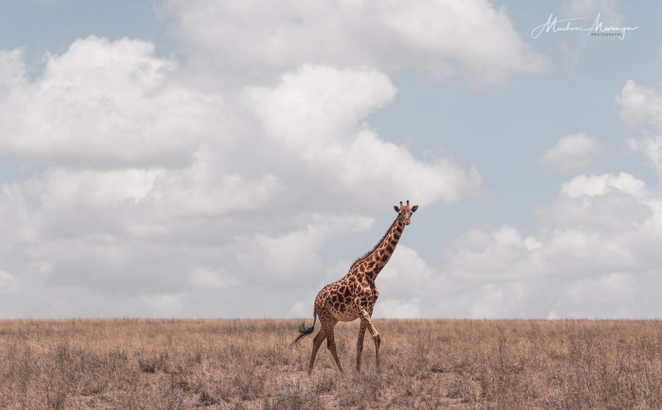 Maasai Girrafe in the plains