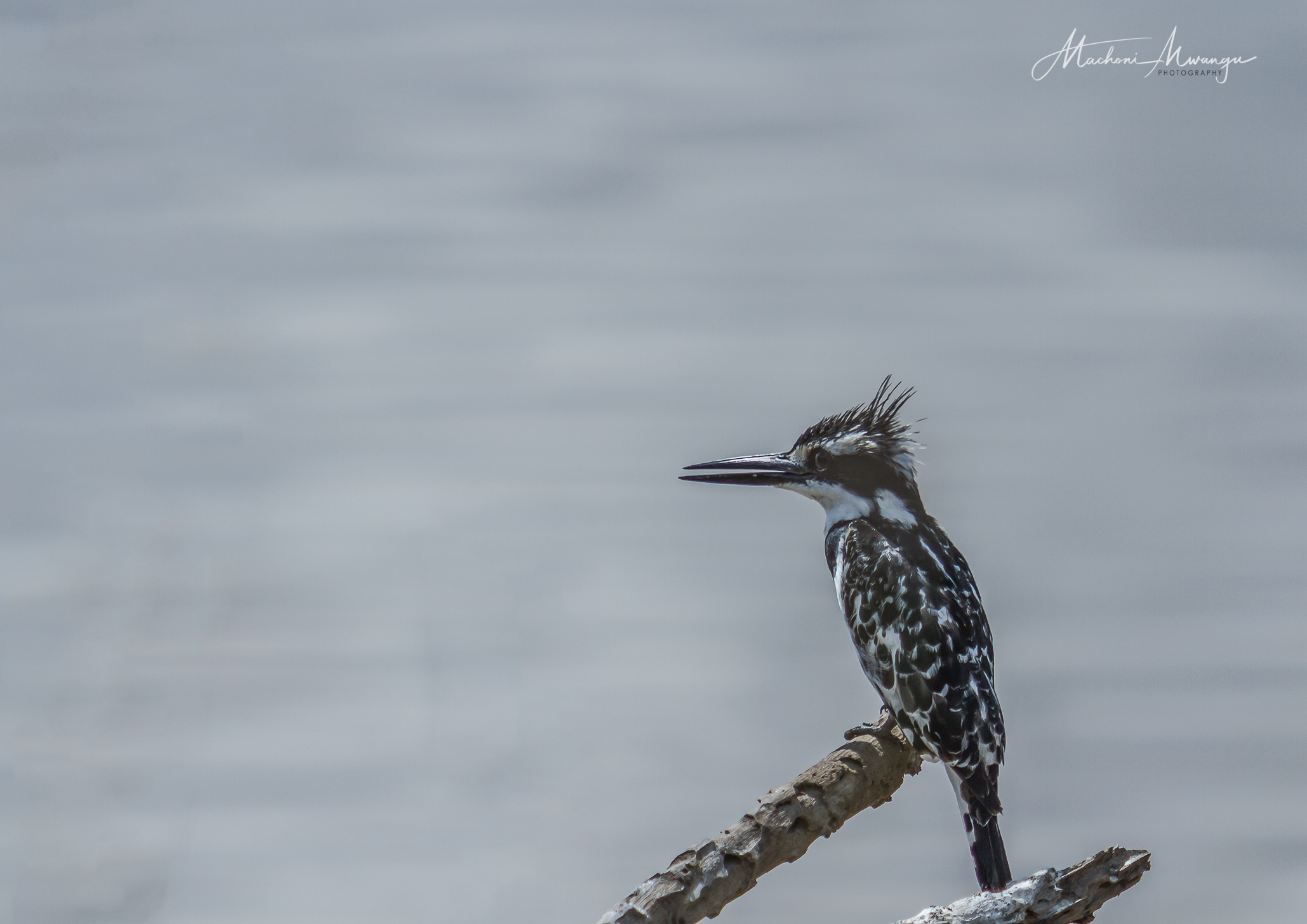 Pied King Fisher