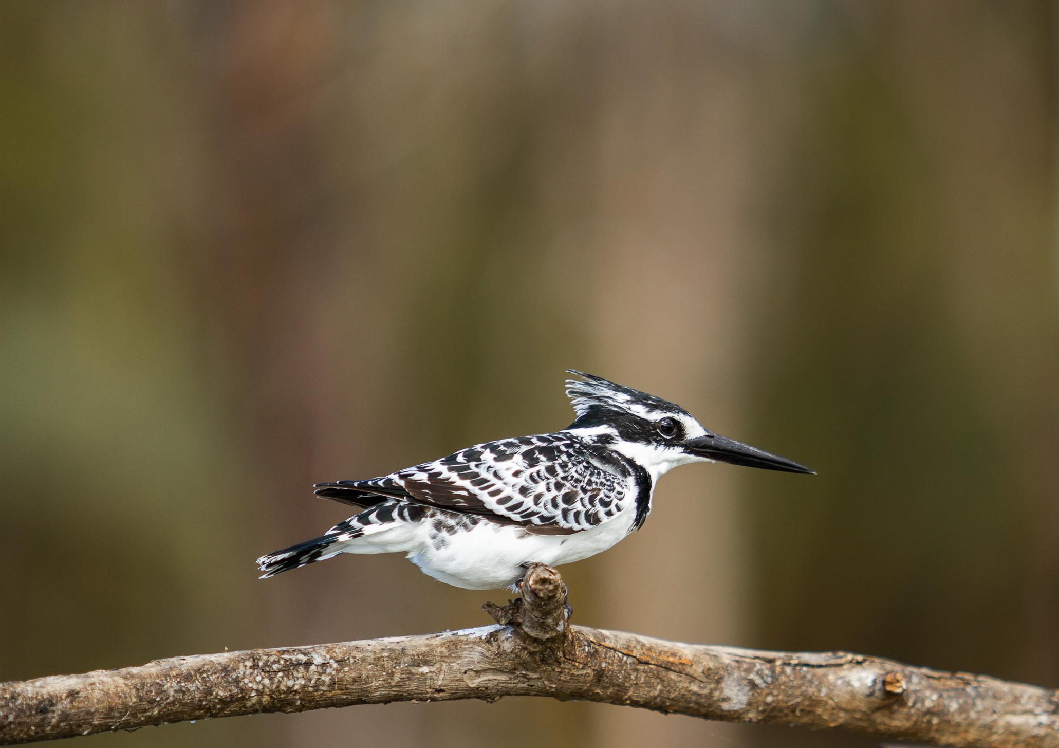 Pied Kingfisher-1-4.jpg
