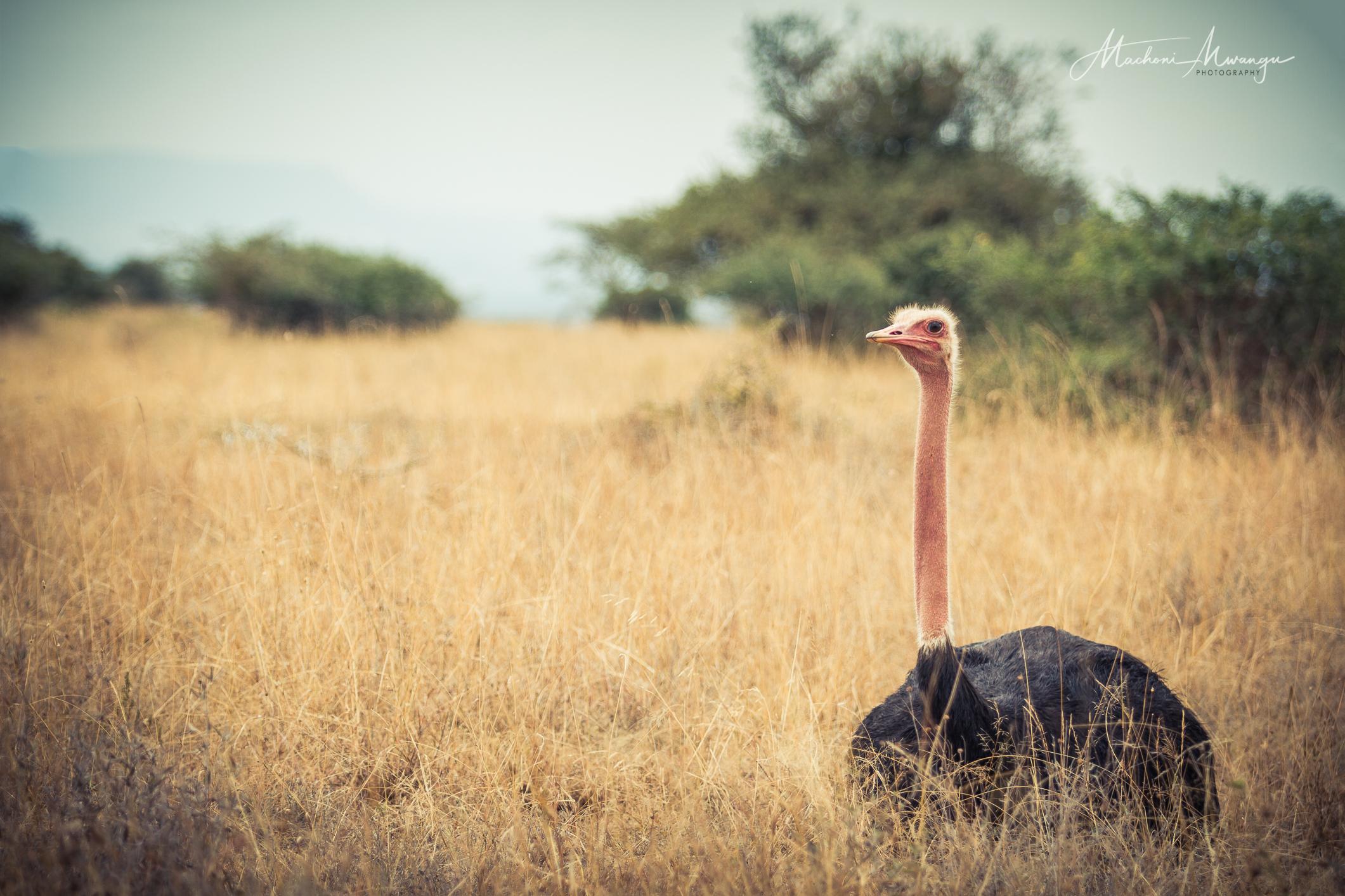 Male Common Ostrich