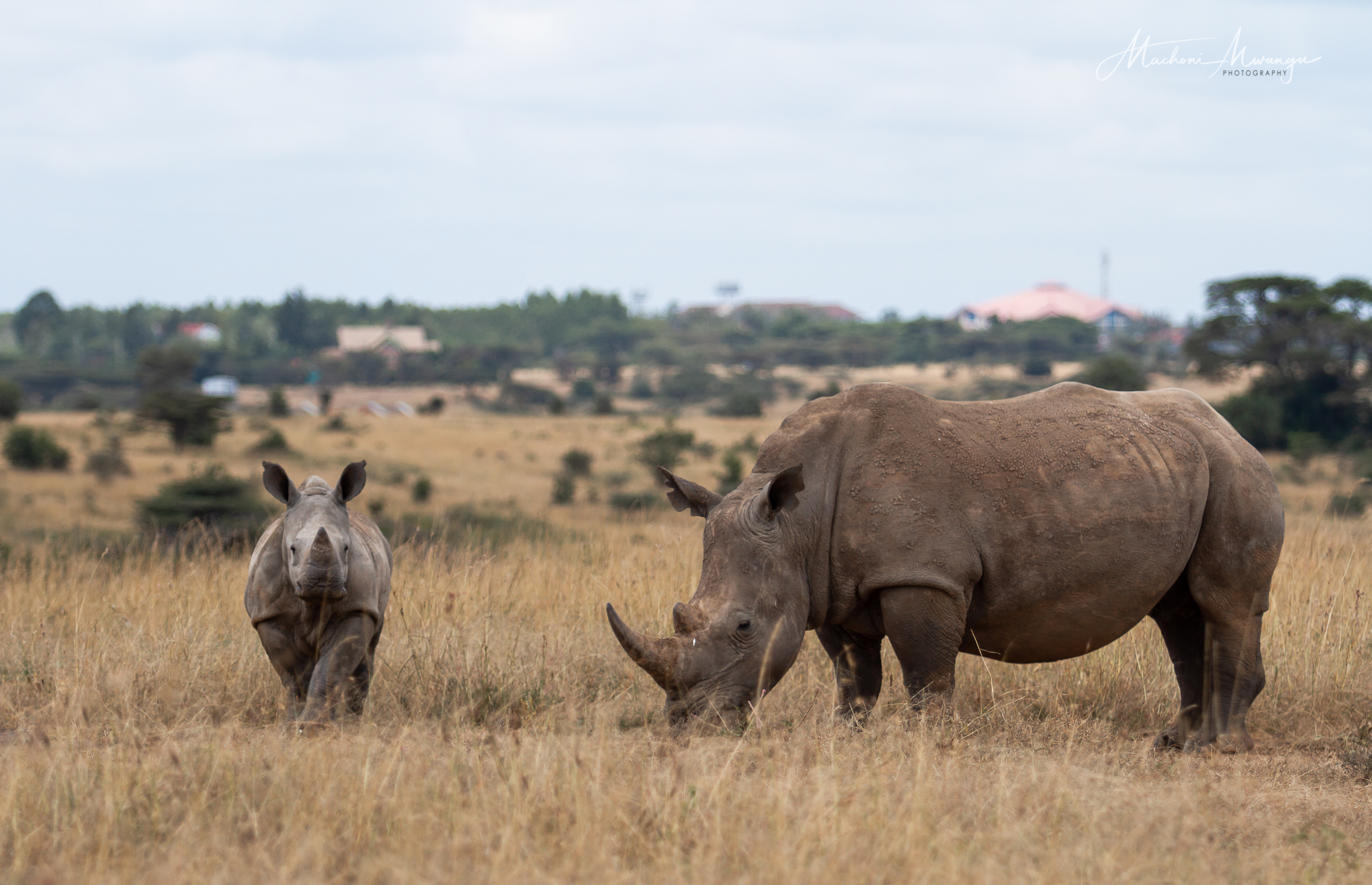 Mama and Baby Rhino in my backyard with a view of the area towards Ongata Rongai