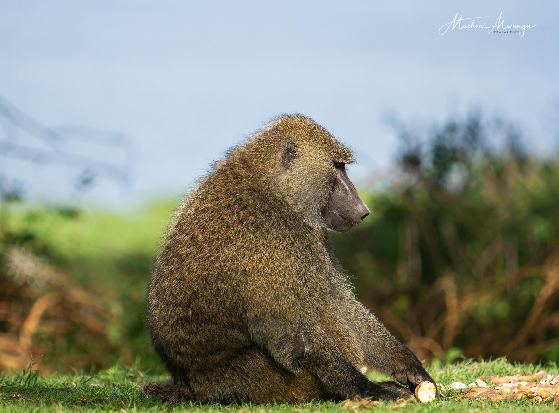 Side Portrait of a Baboon