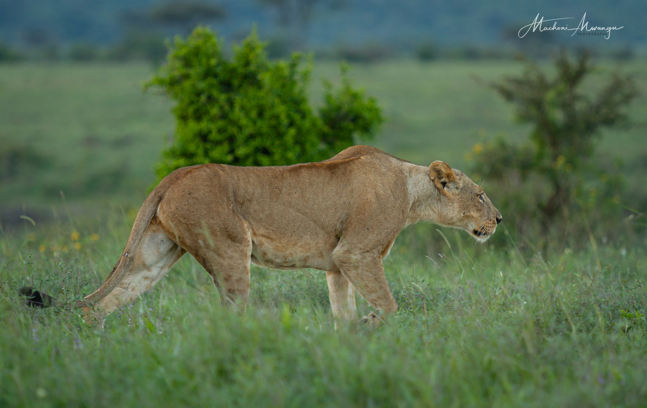 Lions in the Park-1-6.jpg