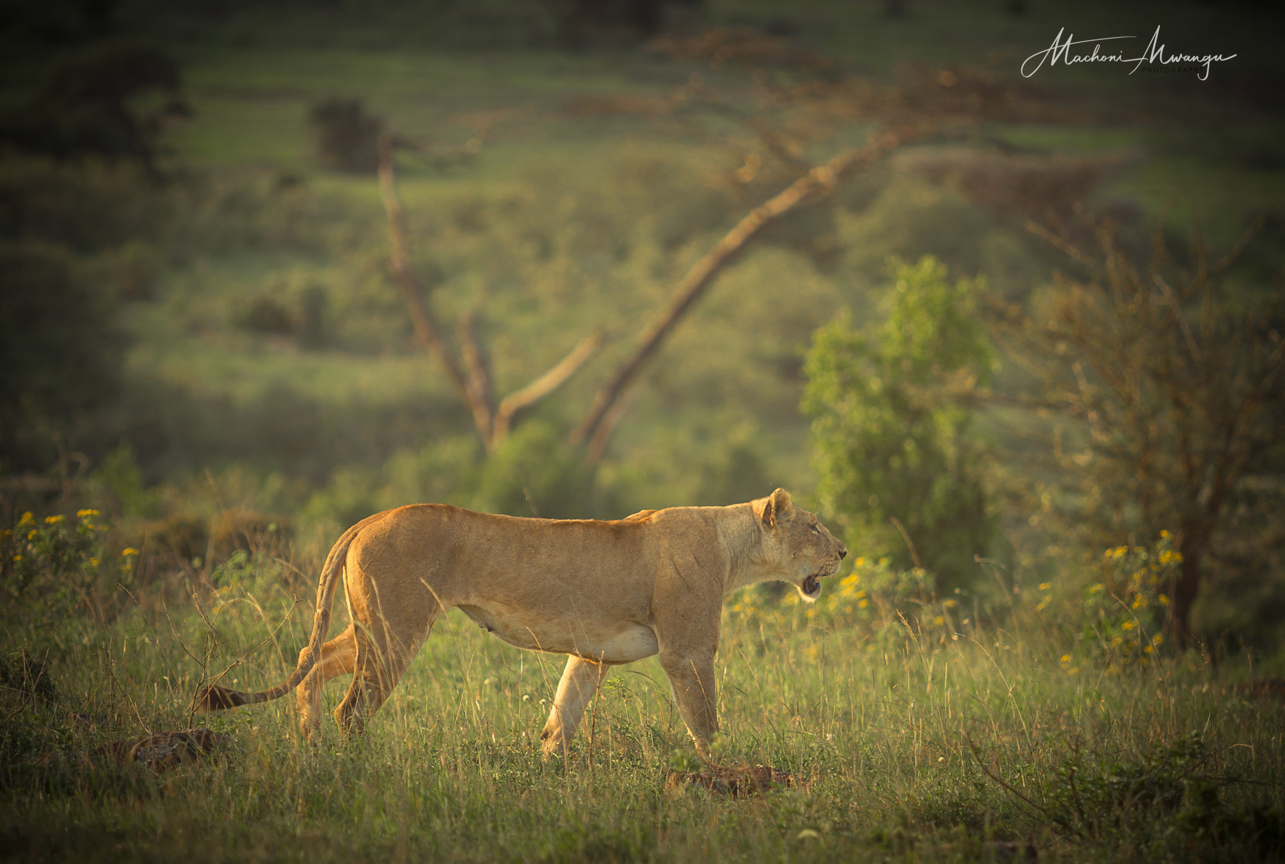 Lions in the Park-1-13.jpg