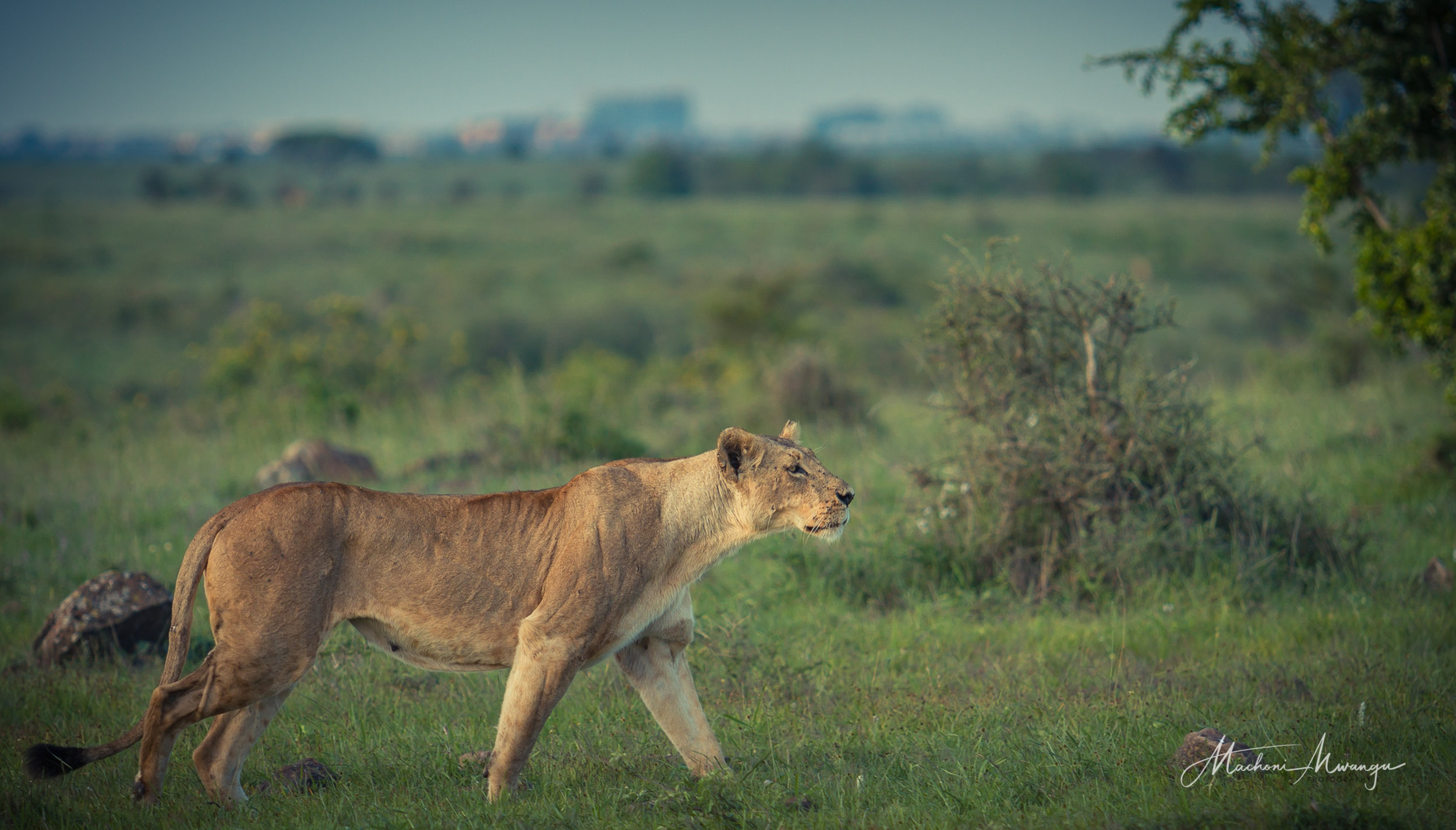 Lions in the Park-1-17.jpg