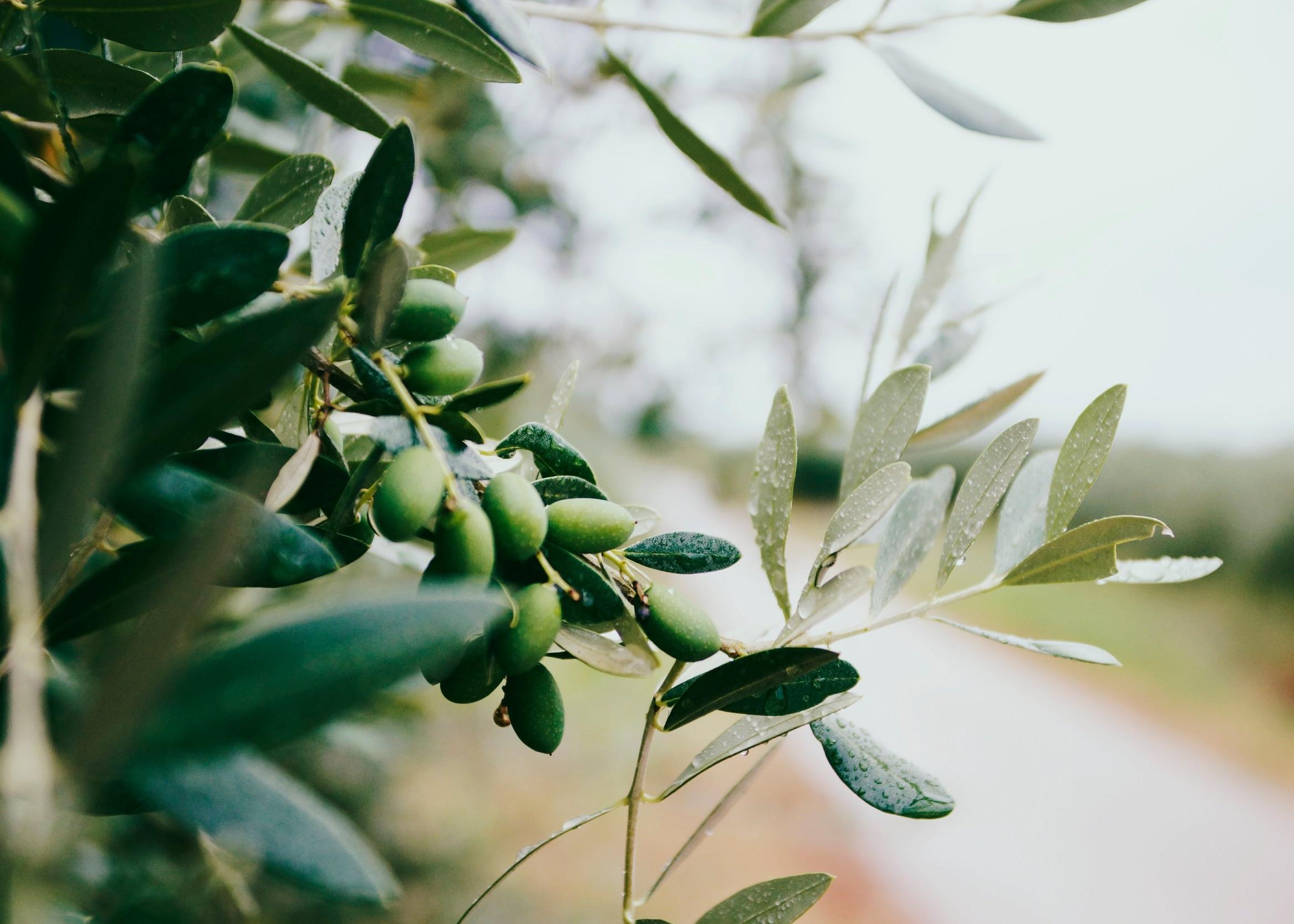 Taziki's Imported Olive Oil
