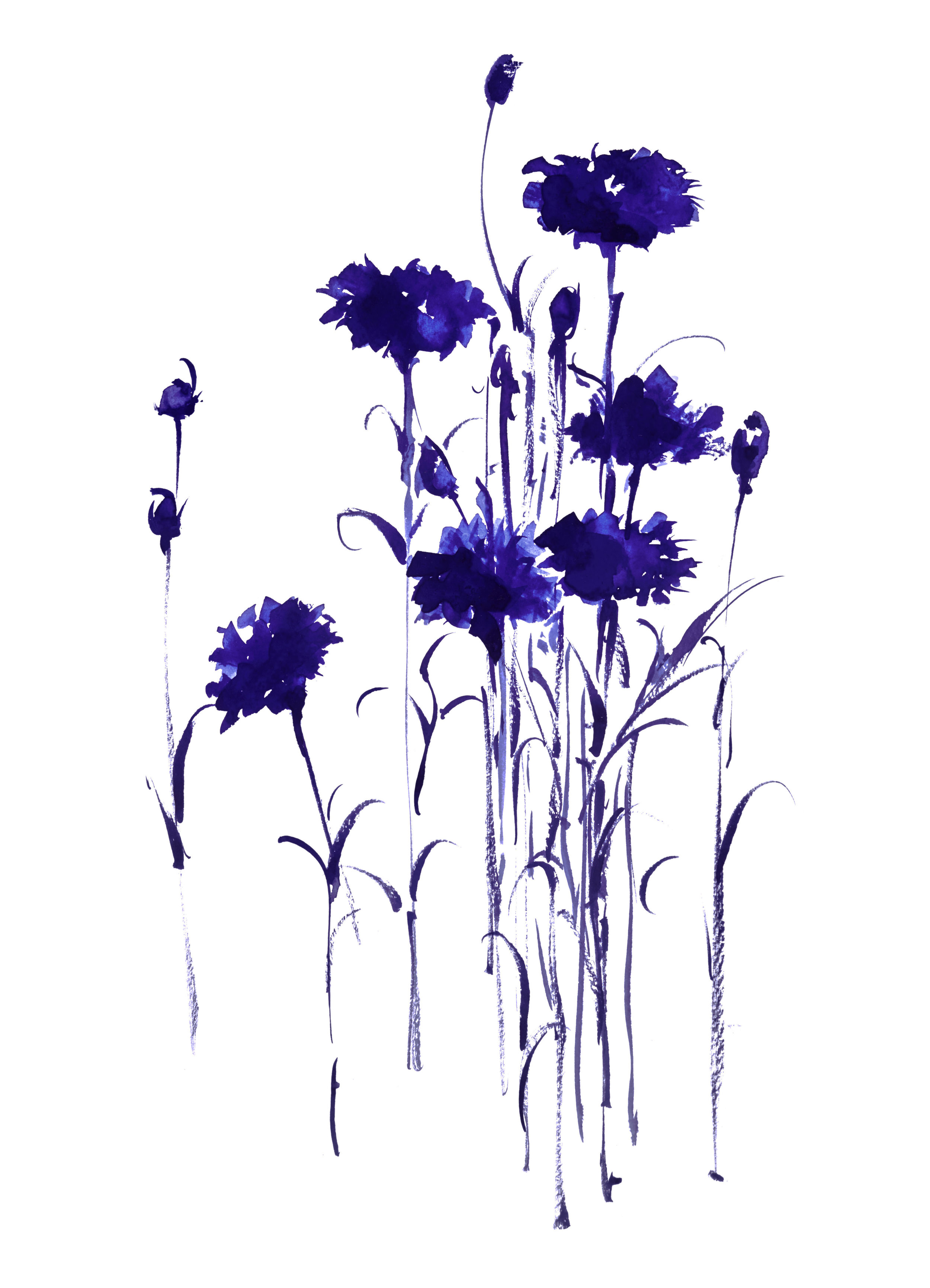 Vega Davis  Botanical Study Bachelor Button 4 Watercolor 11 x 14