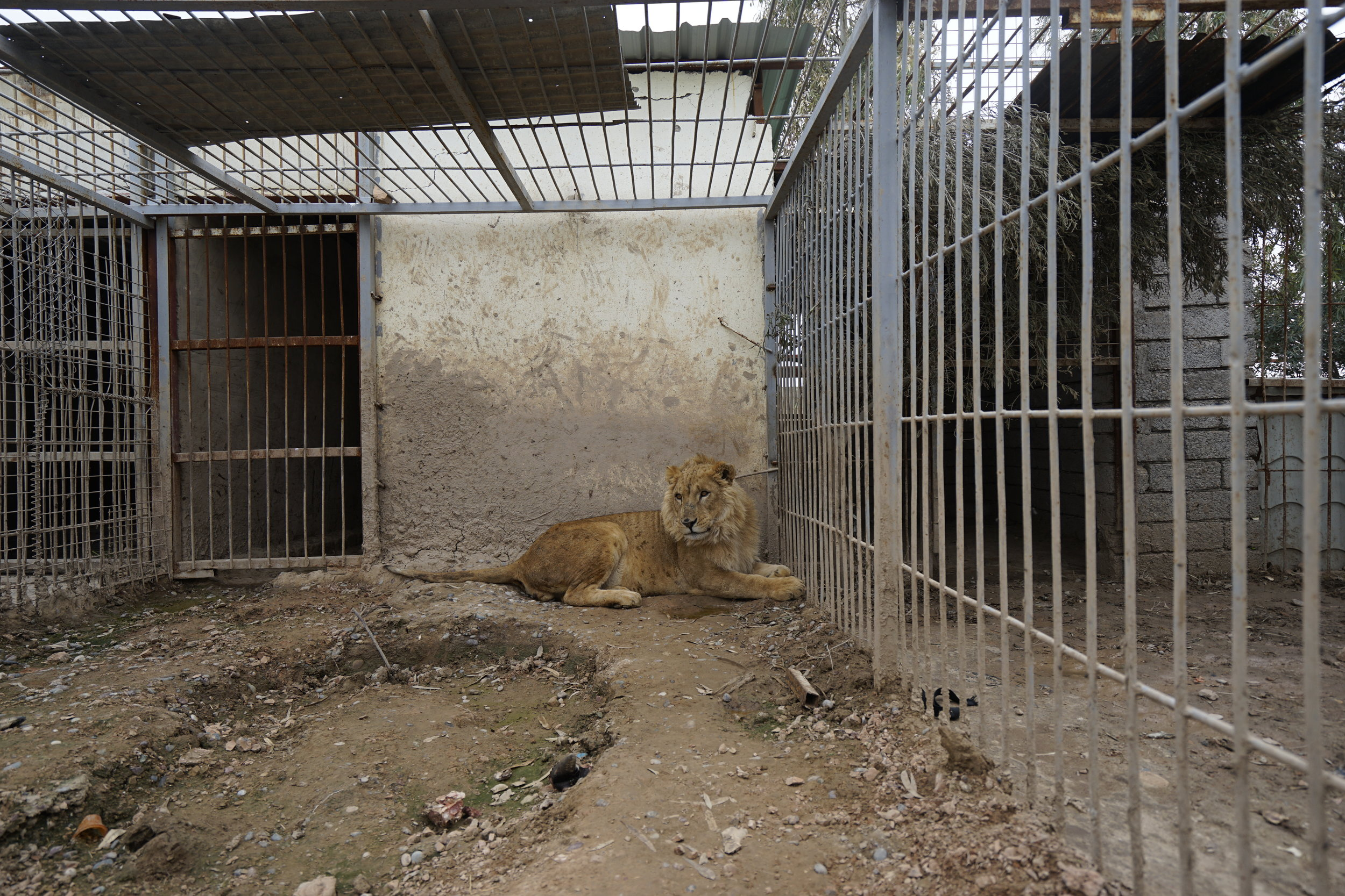 Simba the lion was found in the abandoned Mosul Zoo. Photo by Four Paws.