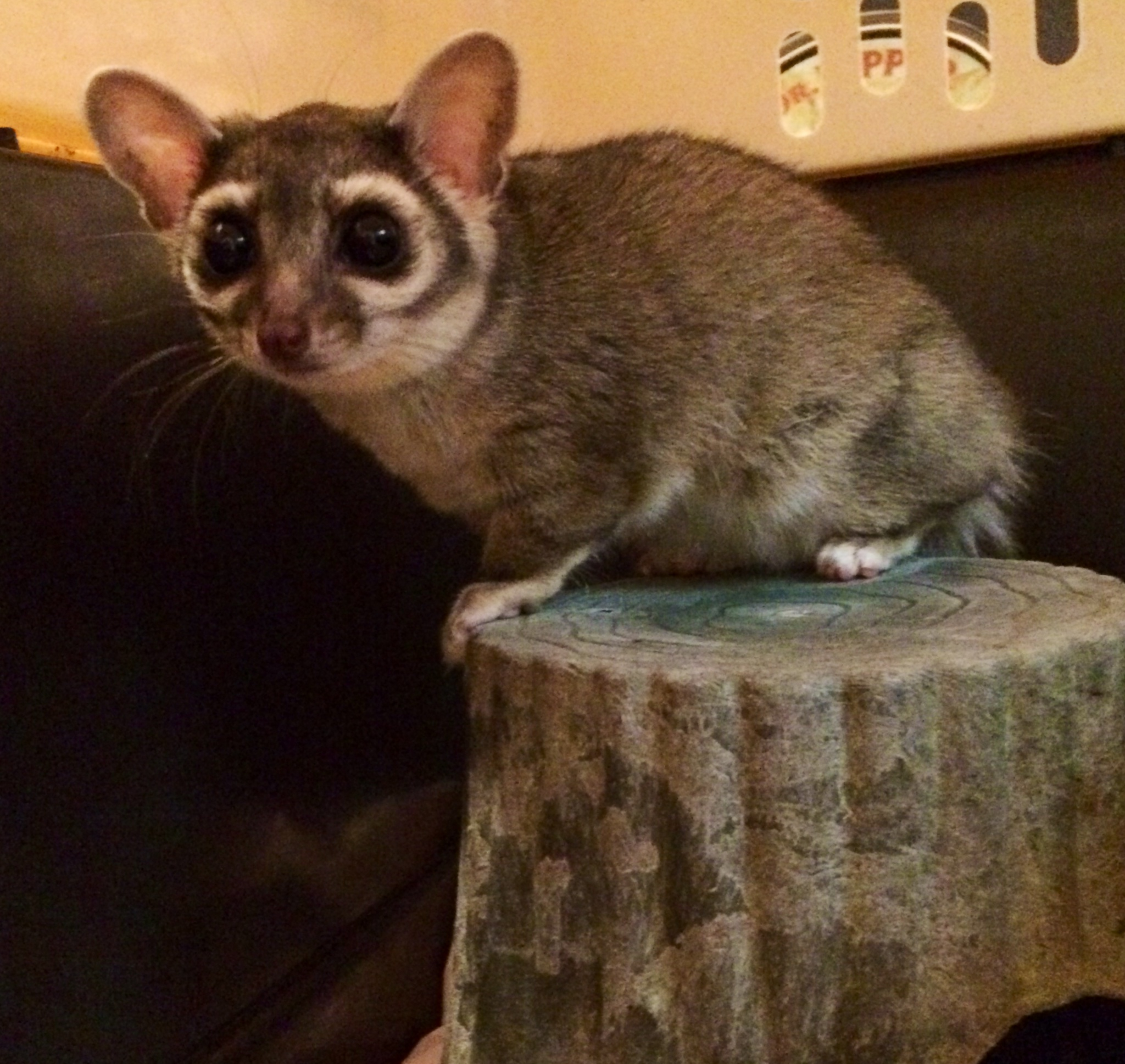 Addie - Ringtail