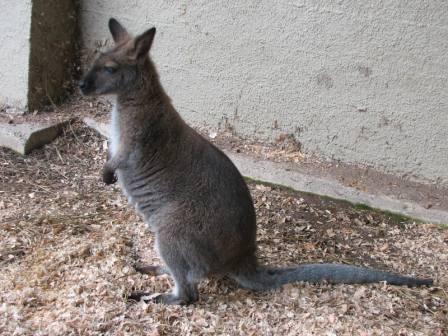 Wentz - Tammar/Bennett's Wallaby