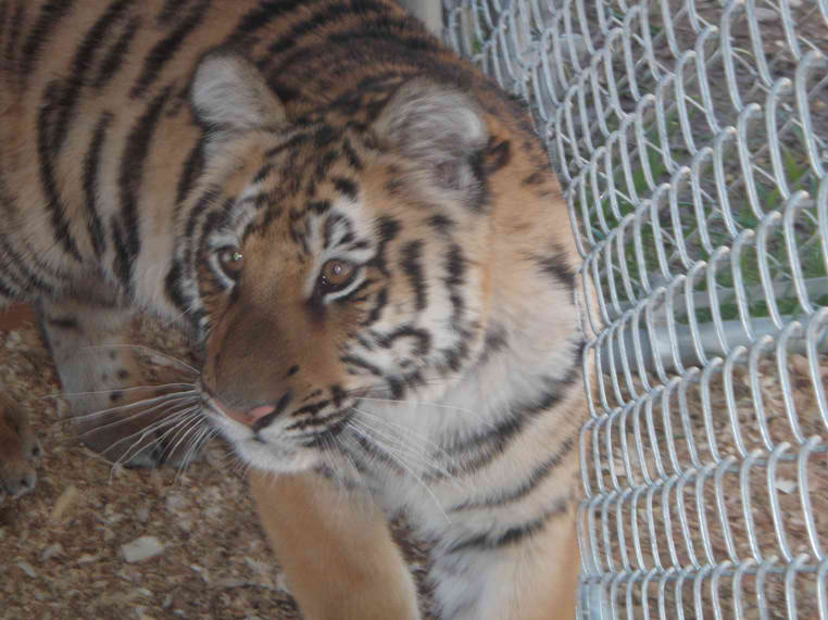 Savara - Siberian Tiger