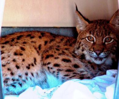 Nan - Siberian Lynx