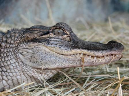 Alex - American Alligator