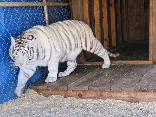 Zuri - Bengal Tiger