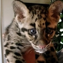 Bow - Clouded Leopard
