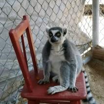 Lemur-on-Chair-213x213.jpeg